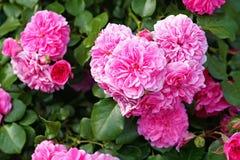 розы centifolia, Провансаль розовая или капуста подняли или розовый de Mai стоковые фотографии rf