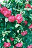 Розы Enchanted накаляя розовые! Стоковые Изображения