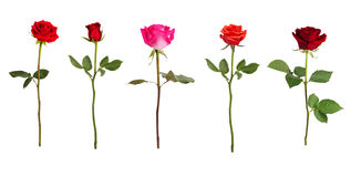 5 роз других цветов Стоковое фото RF