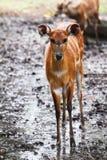 Рой оленей стоковое фото