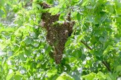 Рой пчел в дереве стоковая фотография rf
