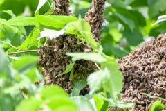 Рой пчел в дереве стоковое фото