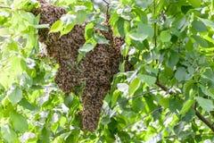 Рой пчел в дереве стоковые фотографии rf