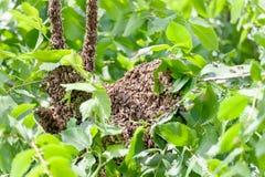 Рой пчел в дереве стоковые изображения rf