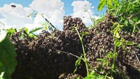 Рой пчел сток-видео