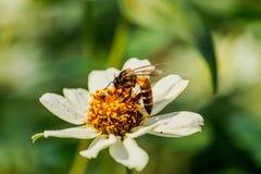 Рой пчелы цветка крупного плана в саде Стоковая Фотография RF