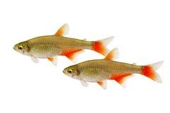 Рой рыб аквариума tetra Aphyocharax anisitsi Bloodfin тропических изолированных на белизне Стоковое фото RF