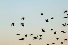 Рой силуэта птицы Стоковые Изображения