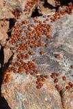 Рой Ladybirds (божья коровка) Стоковая Фотография