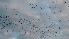 Рой Starlings в небе вечера сток-видео