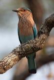 ролик индейца птицы Стоковое Фото