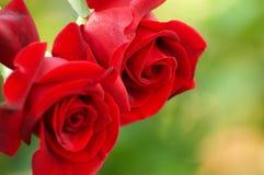 романско Розы - символ любовников Стоковые Изображения