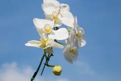 Романтичная ветвь белой орхидеи Стоковое Фото
