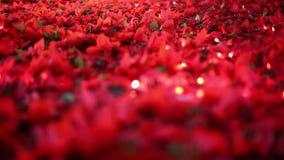 Романтичное украшение рождества Поля цветка Poinsettia дуя в ветерке сток-видео