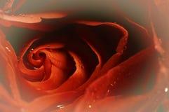 романтично поднял Стоковые Изображения RF