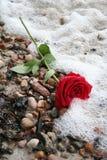 романтично поднял Стоковое Фото