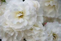 Романтичные мягкие белые розы floribunda стоковые изображения