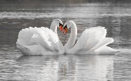 Романтичные пары лебедя Стоковое Изображение