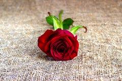 Романтичные предпосылки красной розы, день матерей, wedding приглашение, карточки годовщины Стоковая Фотография RF