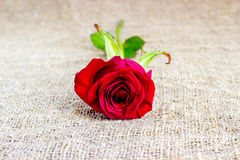 Романтичные предпосылки красной розы, день матерей, wedding приглашение, карточки годовщины Стоковое фото RF
