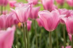 Романтичные тюльпаны Голландия Мичиган пастельного пинка Стоковые Фотографии RF