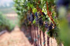 романтичный виноградник Стоковое фото RF