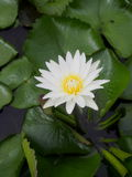 Романтичный чистый цветок белого лотоса Стоковые Фотографии RF