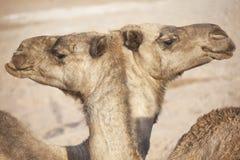 2 дромадера (верблюд). Стоковая Фотография