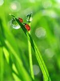 Роса и ladybirds Стоковое Изображение