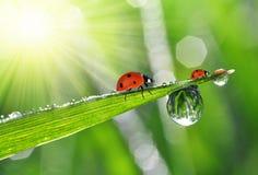 Роса и ladybirds Стоковые Изображения