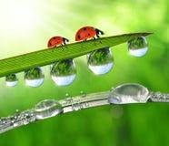 Роса и ladybirds Стоковые Фотографии RF