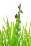 Роса и ladybirds Стоковые Фото