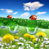 Роса и ladybugs Стоковая Фотография