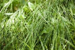 Роса на зеленой траве леса, роса утра падает предпосылка стоковая фотография rf