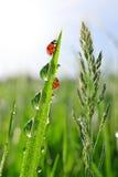 Роса на зеленой траве и ladybirds Стоковые Фотографии RF