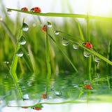 Роса на зеленой траве и ladybirds Стоковая Фотография RF