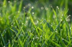 Роса на зеленой траве стоковое изображение rf