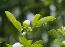 Роса на листьях фруктового дерев дерева Стоковое фото RF