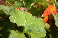 Роса на листьях хламиды и осени Lady's стоковое фото rf