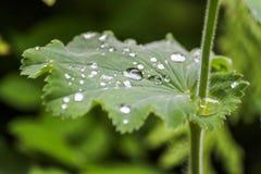 Роса на листьях Стоковое Изображение
