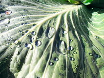 Роса на лист капусты стоковая фотография rf