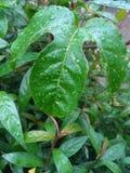 роса на лист marquisa Стоковые Фотографии RF