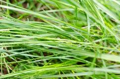 Роса на сочной зеленой траве Стоковая Фотография