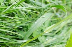 Роса на сочной зеленой траве Стоковое фото RF