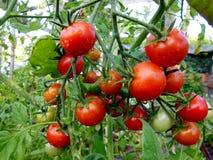 Роса на томатах раннего утра Стоковая Фотография RF