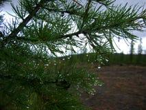Роса на coniferous ветви Стоковая Фотография
