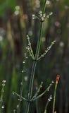 Роса на horsetail Стоковые Фотографии RF