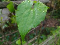 Роса падая в зеленые лист стоковые фото
