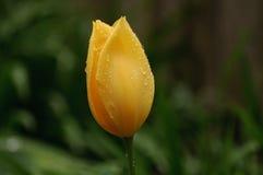 Роса покрыла желтый тюльпан Стоковые Фото