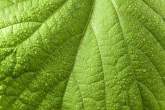 Роса покрыла одичалые лист виноградины стоковые изображения